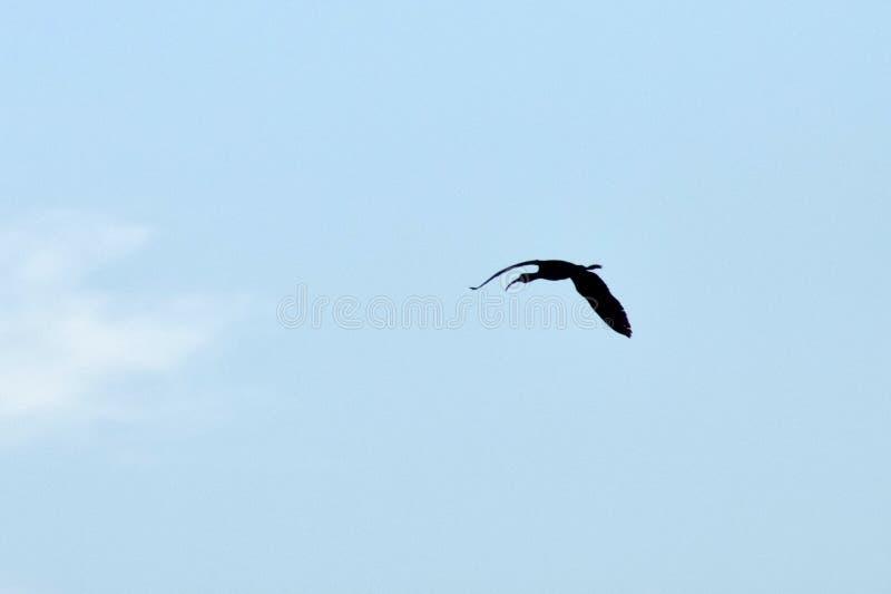 Vogel jagen Schnepfen lizenzfreie stockbilder
