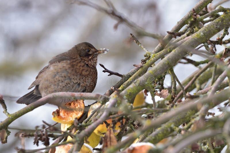 Vogel in kreupelhout met fruit royalty-vrije stock afbeeldingen