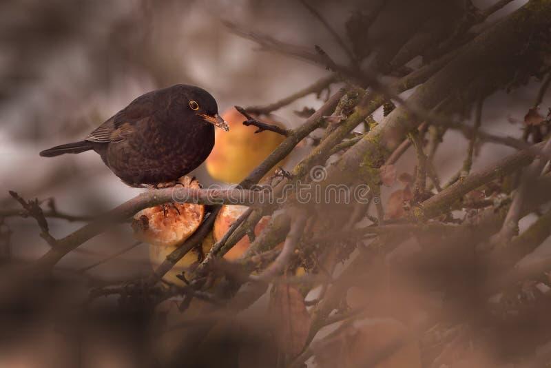 Vogel in kreupelhout met fruit stock afbeeldingen