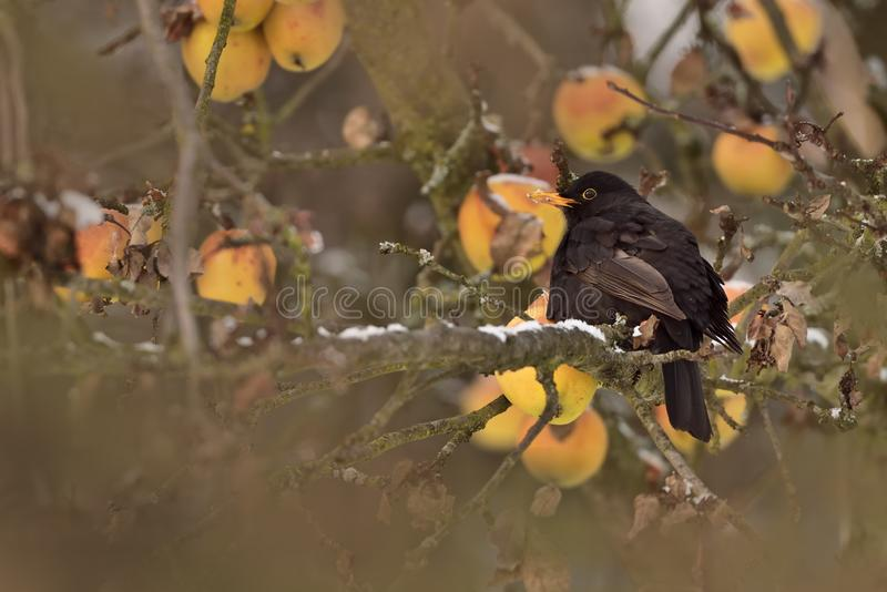 Vogel in kreupelhout met fruit stock afbeelding