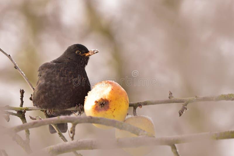 Vogel in kreupelhout met fruit stock fotografie