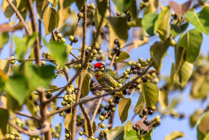 Vogel (Kupferschmied Barbet) essen einen Samen auf einem Baum stockfoto