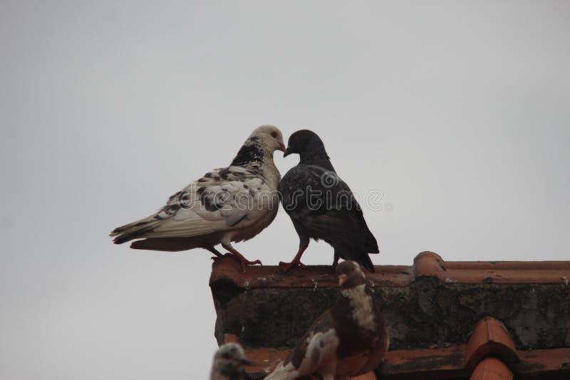 Vogel in liefde stock foto