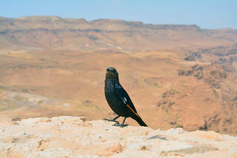 Vogel in Masada Israel lizenzfreie stockbilder