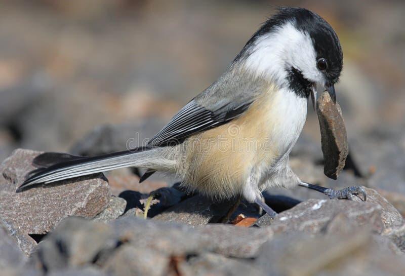Vogel met een Rots stock foto's