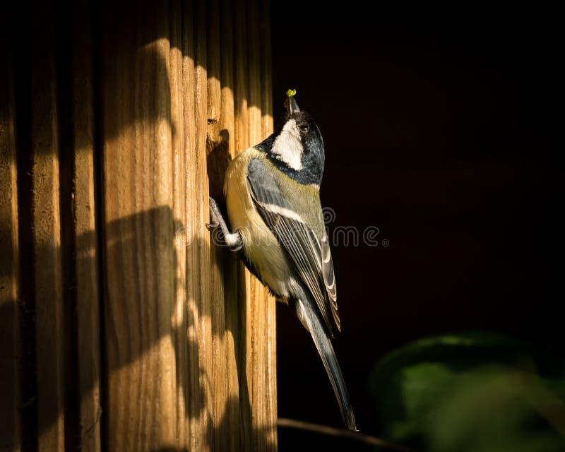 Vogel met groene rupsband in rekening om zijn beginnelingen te voeden, die op het nestelen doos zitten royalty-vrije stock foto's