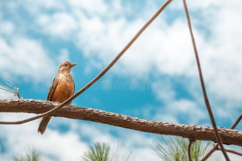 Vogel met oranje buik op een boomtak Zonnige dag met vele wolken op een schitterende blauwe hemelachtergrond royalty-vrije stock fotografie