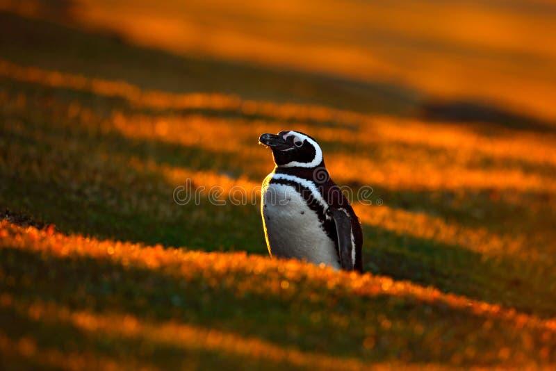 Vogel met oranje zonsondergang Avondlicht met pinguïn Mooie Magellan-pinguïn met zonlicht Pinguïn met avondlicht Open p stock afbeelding
