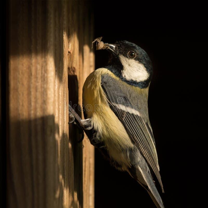 Vogel met spin in rekening om zijn beginnelingen te voeden, die op het nestelen doos zitten stock foto's