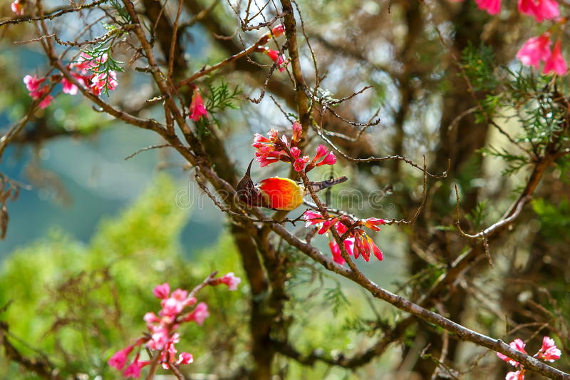 Vogel, Mevr. Sunbird van Gould, Sunbird royalty-vrije stock foto's