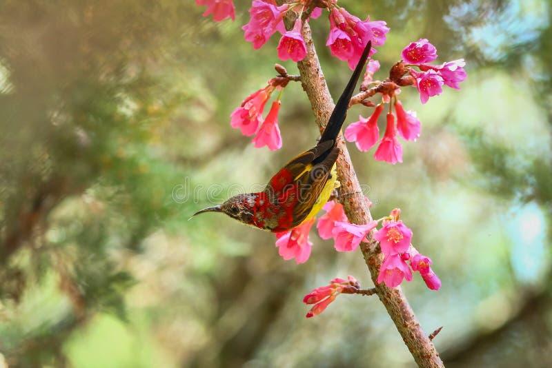 Vogel, Mevr. Sunbird van Gould, Sunbird royalty-vrije stock afbeeldingen