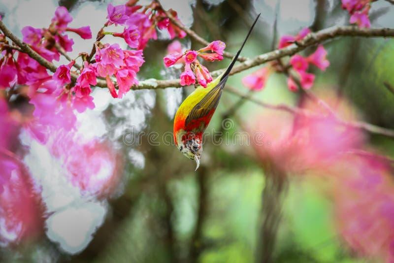Vogel, Mevr. Sunbird van Gould, Sunbird royalty-vrije stock foto