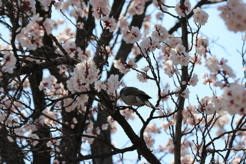 Vogel mit Cherry Blossom in Korea lizenzfreies stockfoto