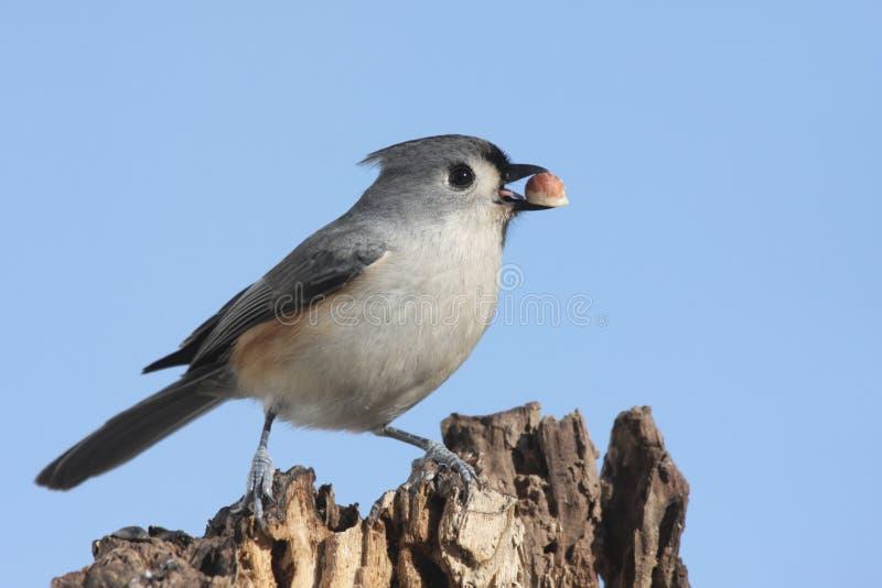 Vogel mit einer Erdnuss lizenzfreie stockfotos