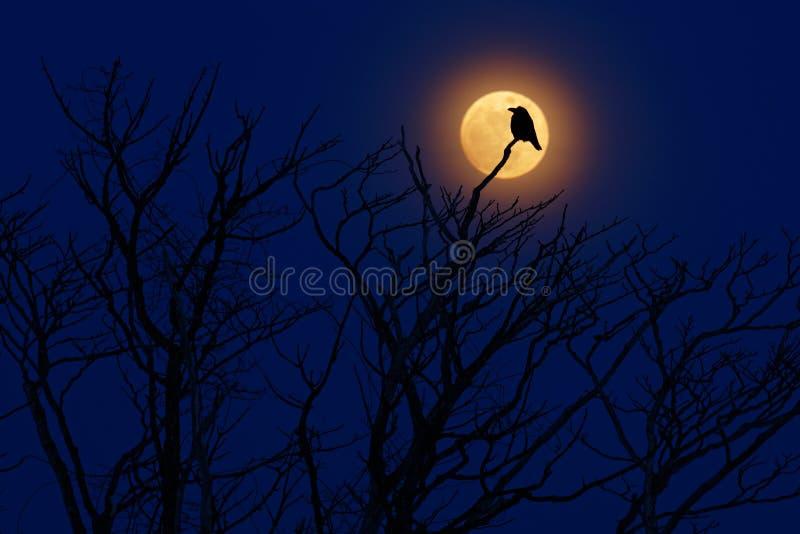 Vogel mit Mond Später Abend mit Raben, schwarzer Waldvogel, Sitzen auf dem Baum, düsterer Tag, Naturlebensraum Magische Nacht mit lizenzfreies stockfoto