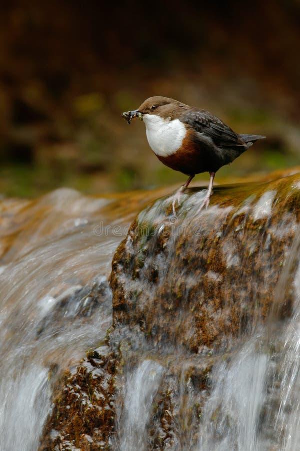 Vogel mit Wasserfall Weiß-throated Schöpflöffel, Cinclus Cinclus, Wassertaucher, brauner Vogel mit der weißen Kehle im Fluss, Was stockfoto