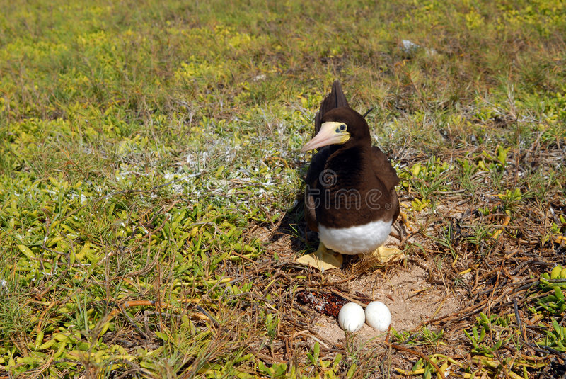 Vogel nahe einem Nest mit Eiern stockfotos