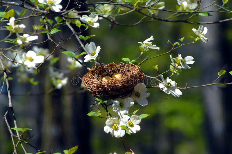 Vogel-Nest im Hartriegel stockbilder