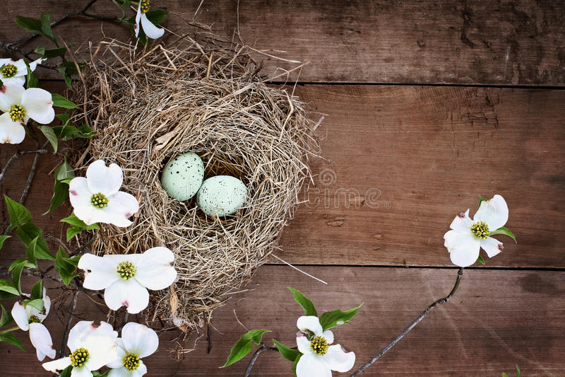Vogel-Nest und Eier mit weißen blühender Hartriegel-Blüten lizenzfreie stockfotografie
