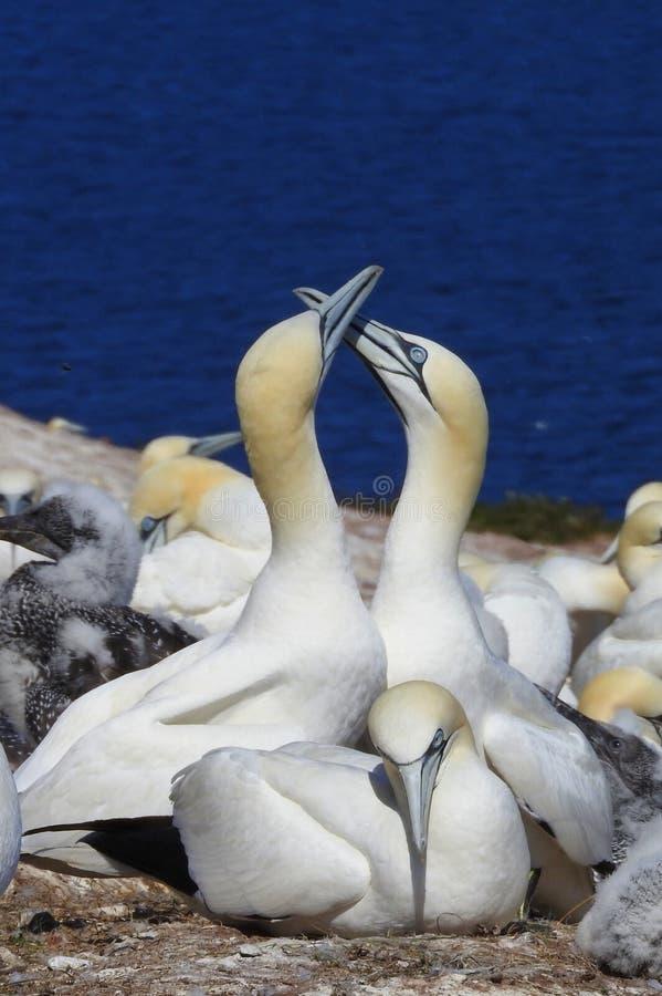 Vogel Nord-Gannet in Bonaventure Island in Gaspesie, Kanada lizenzfreie stockbilder