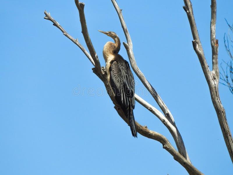 Vogel op de boom, Australasian Darter stock foto