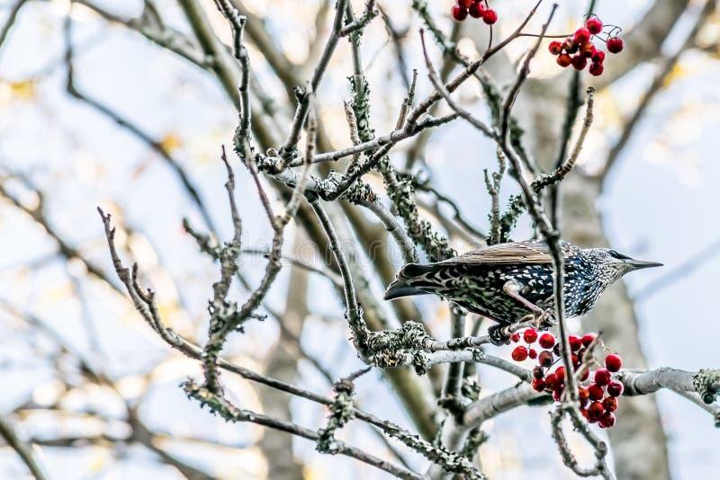 Vogel op de tak van een boom met rode bessen wordt neergestreken die royalty-vrije stock foto