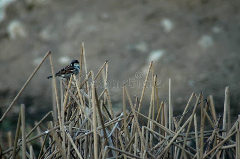 Vogel op gebroken wordt neergestreken die cattails royalty-vrije stock fotografie
