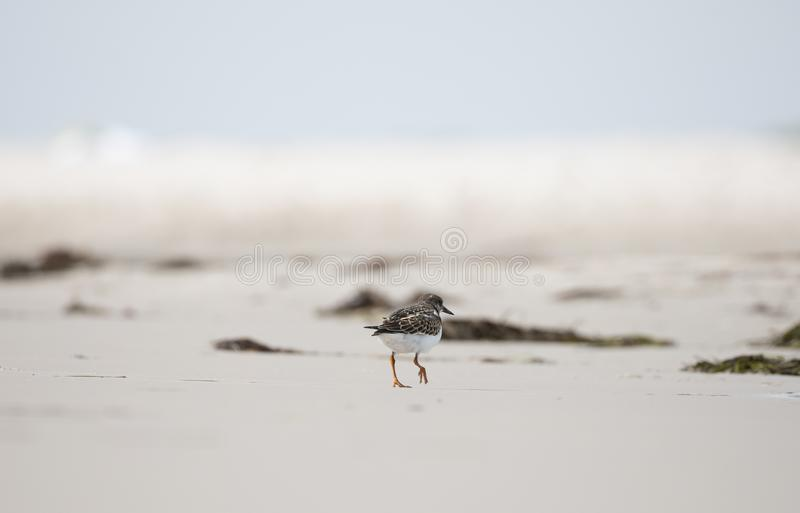 Vogel op het strand, Ruddy Turnstone Arenaria interpres stock foto