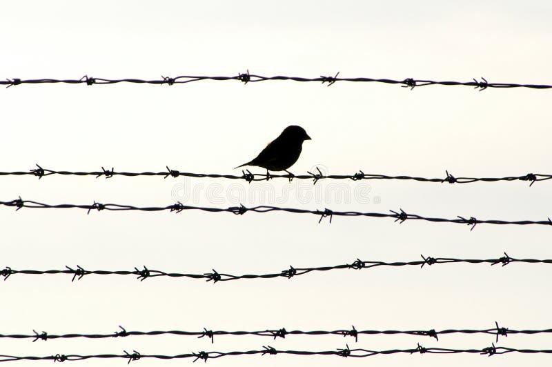Vogel op prikkeldraad royalty-vrije stock foto's