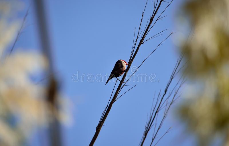 Vogel op rietstam stock foto