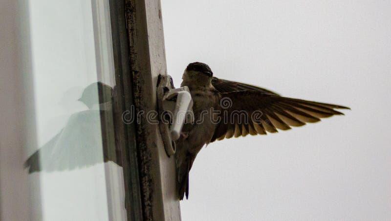 Vogel op venstervangst royalty-vrije stock foto's