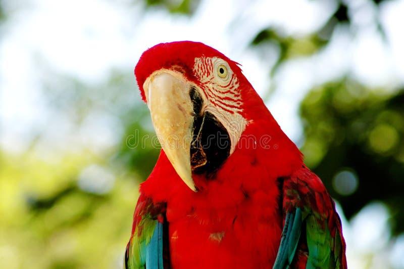 Vogel - Papagei stockbild