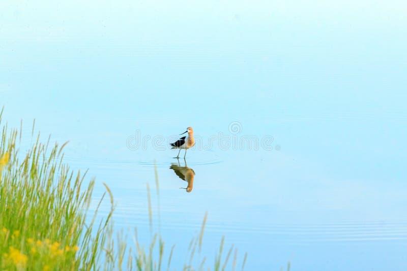 Vogel reflektierte sich im Wasser lizenzfreies stockfoto