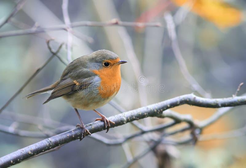 Vogel Robin, der unter den Niederlassungen im Herbst sitzt lizenzfreie stockfotografie