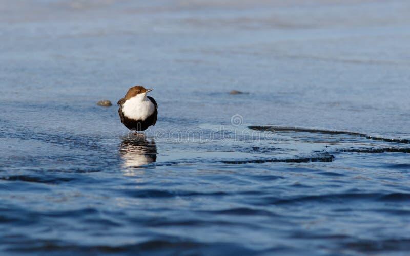 Vogel-Schöpflöffel, der auf dem Eis auf einem Fuß nahe dem Quellwasser von Fluss bleibt stockbilder