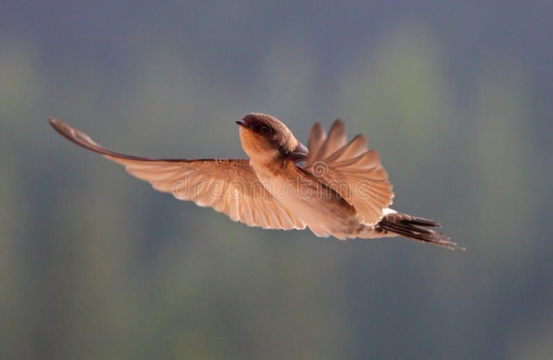 Vogel, Schwalbe Auf Fliegen Stockfoto - Bild von schwalbe, flügel ...