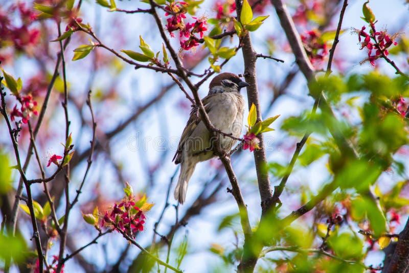 Vogel-Spatz, der auf einer Niederlassung einer Aprikose des blühenden Baums sitzt Vogel-nahes hohes stockbild