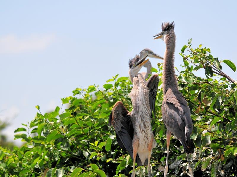 Vogel, twee jonge grote blauwe reigers in moerasland royalty-vrije stock foto's