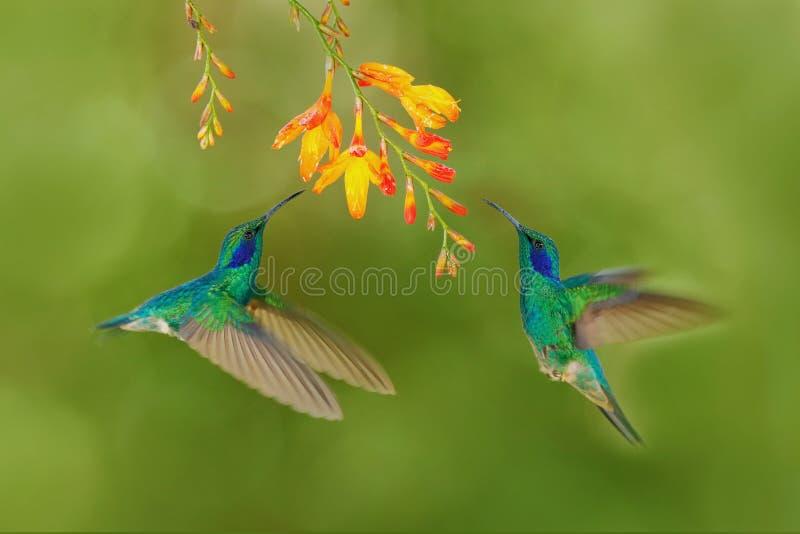 Vogel twee met oranje bloem Groen kolibries Groen violet-Oor, Colibri-thalassinus, die naast mooie gele bloem, Sav vliegen stock afbeeldingen