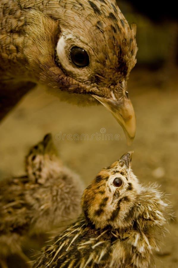 Vogel und Nestling lizenzfreies stockbild