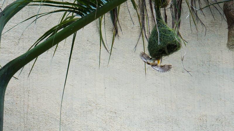 Vogel 2 van de Bayawever royalty-vrije stock afbeeldingen