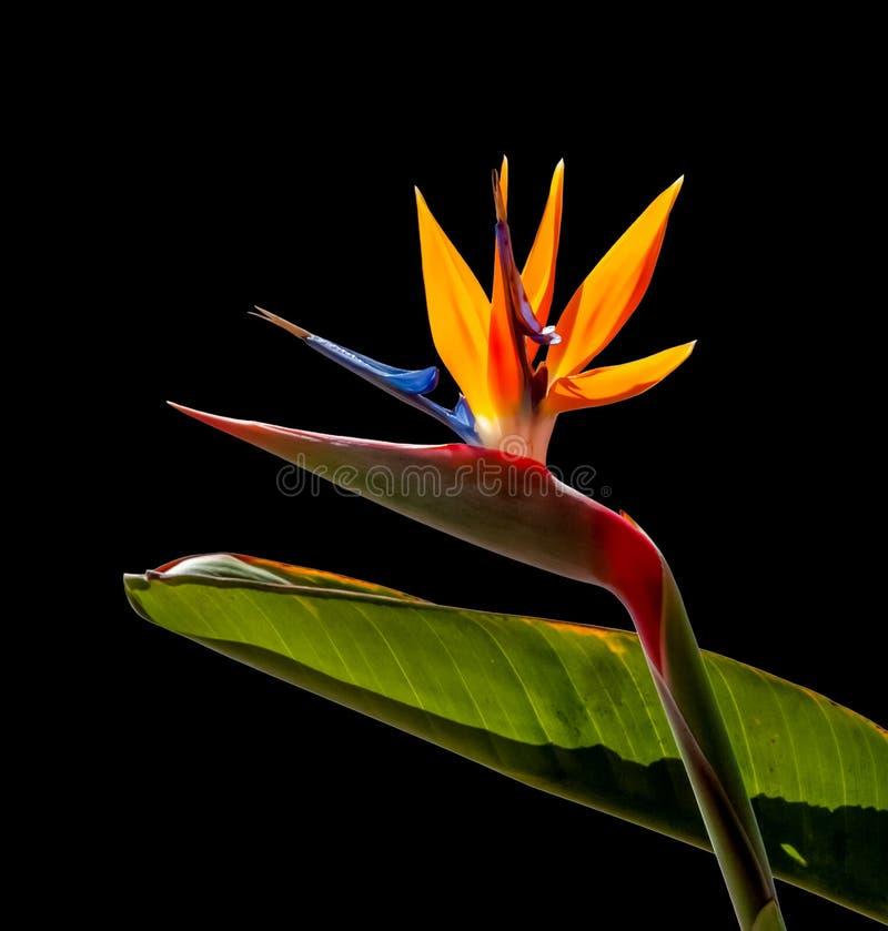 Vogel van de paradijsbloem achter verlichte donkere bladachtergrond stock afbeelding