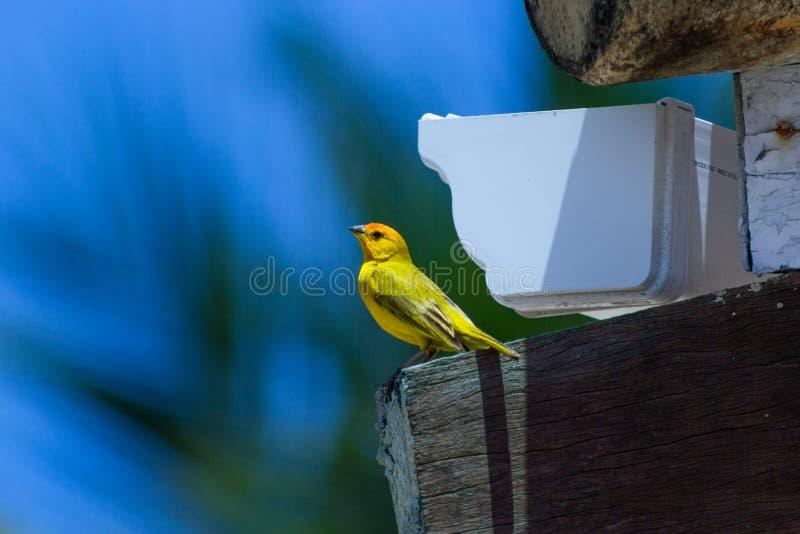 Vogel van Salvador Brazil bij het dak stock foto's