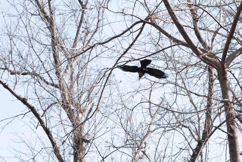 Vogel - vliegende Zwarte Gemeenschappelijke raaf royalty-vrije stock foto's