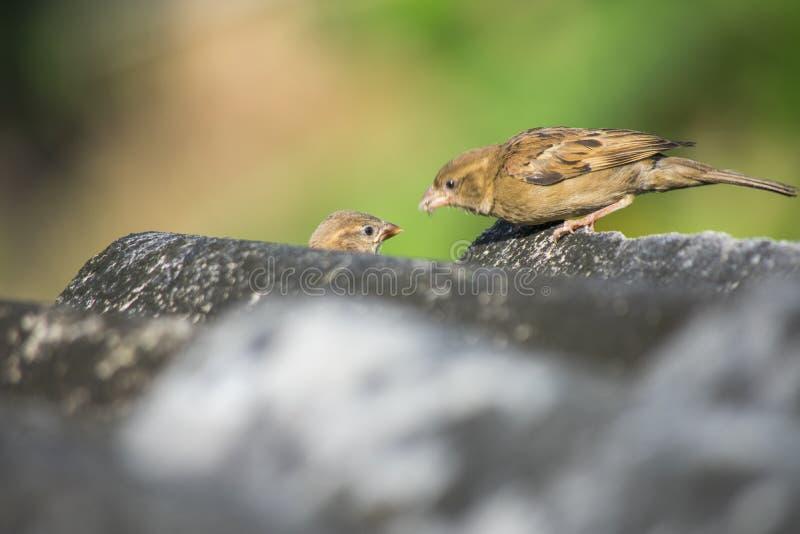 Vogel voedende baby royalty-vrije stock foto's