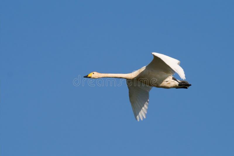 Vogel - Whooper-Schwan lizenzfreie stockfotografie
