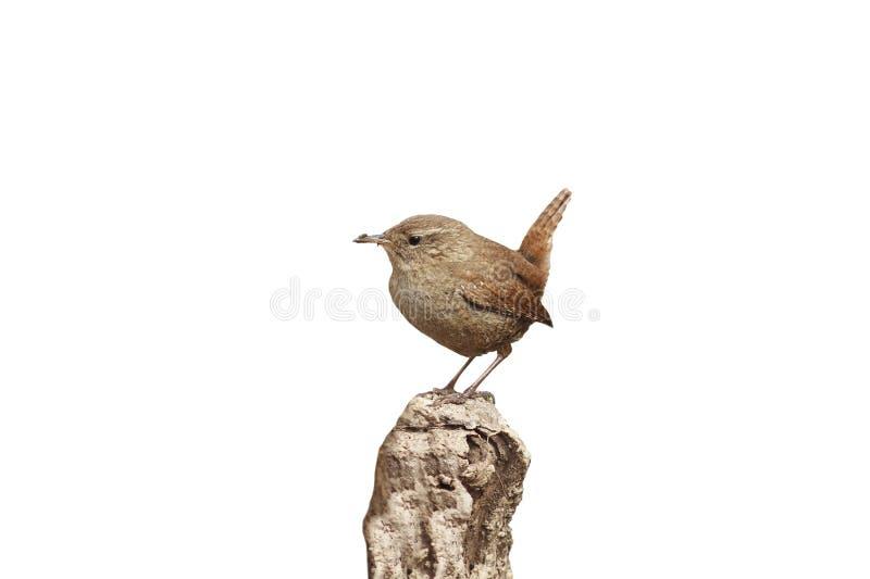 Vogel-Zaunkönig, der im Frühjahr auf der Wurzel des Baums im f sitzt lizenzfreies stockfoto