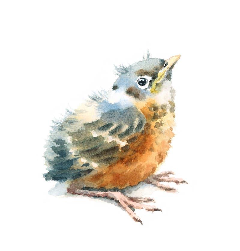 Vogelbaby-Amerikaner Robin Watercolor Hand Painted Illustration lokalisiert auf weißem Hintergrund stock abbildung