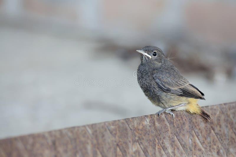 Vogelbaby auf rostigem Eisen whith Grauhintergrund stockbilder