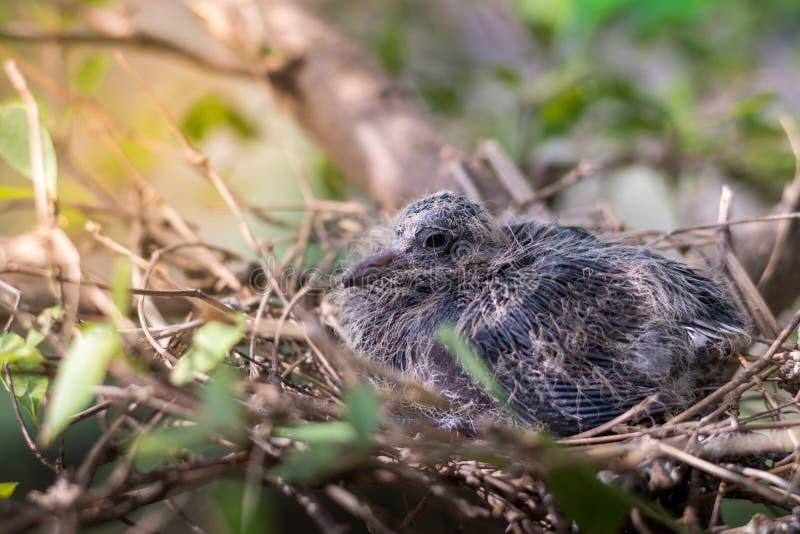 Vogelbaby der Taube haben Feder hat angefangen gerade stockfoto